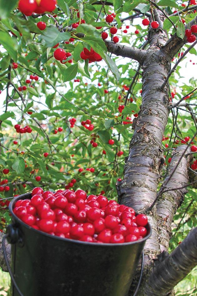 pail full of Montmorency cherries