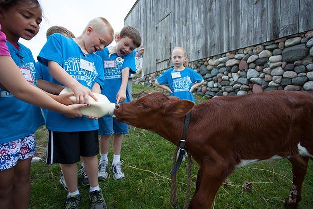 Children bottle-feed a calf.